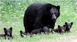 photo of a female black bear with 5 small cubs